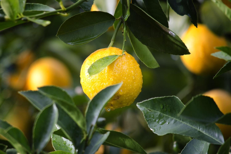 fruit-on-tree-1500